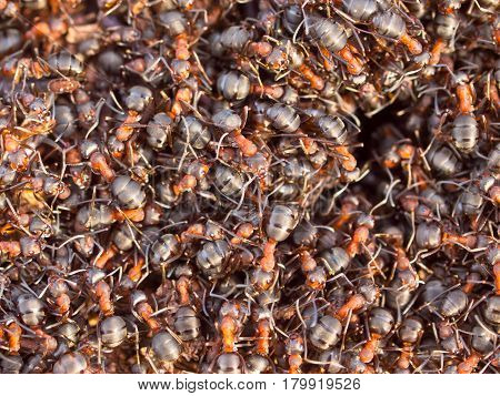Hustle And Bustle Around Red Ant Colony
