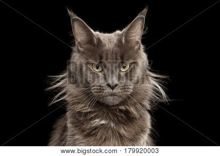 Close-up Portrait Maine Coon Cat On Black Background