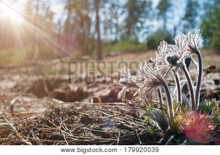 Beautiful Furry Buds Of Pasque Flower In Sunlight