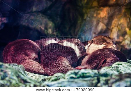 Sleeping cute oriental small clawed otter family