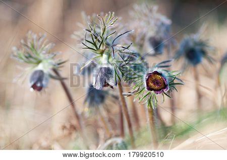 Beautiful furry pasque flower - Pulsatilla pratensis - on spring meadow