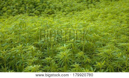 Marihuana Plantation