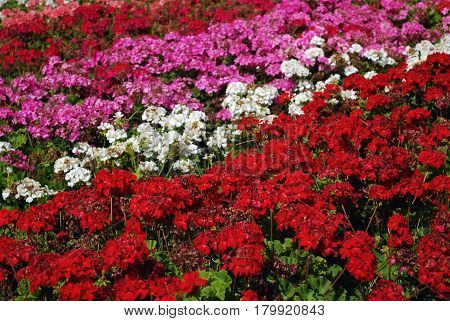 Field of Colored Red Pink Purple and White Flower Rows