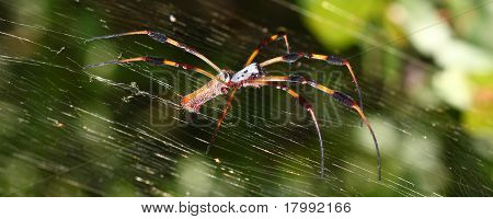 Golden Silk Orb-weaver Spider (Nephila clavipes) sitting on its web. poster