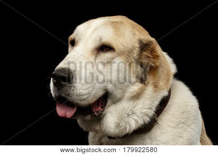 Close-up Potrait of Central Asian Shepherd or Alabai, White Dog on Isolated Black Background