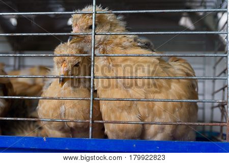 Red young cocks in a cage. Agriculture