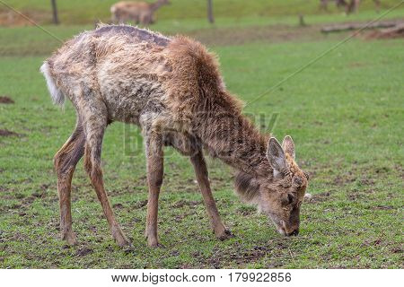 Shedding deer without a horn grazing in a meadow. Animals