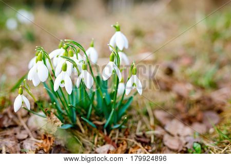 Snowdrops as first spring flowers. Plants blossoming on last year's foliage. A bunch of snowdrops in the forest.