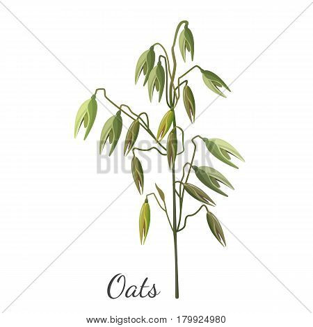 Oats cereals grain realistic hand drawn pattern for web in realistic design. Vector illustration of cereal seed plant with leaves.