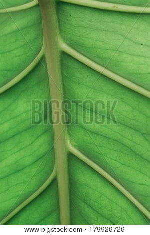 Abstract leaf background (shallow depth of field)