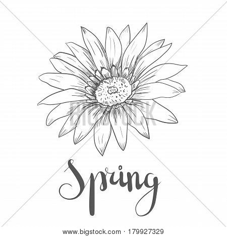 Hand drawn vector pen and ink illustration of Gerbera Daisy flower in Vintage style isolated on white background.