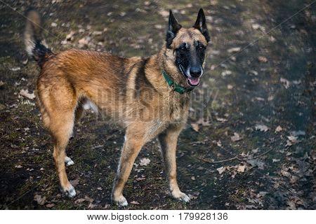 Belgian Shepherd Dog on a walk alone