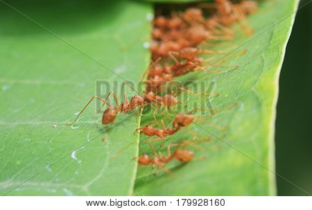 Ants Stitching Leaves Together Unity and Teamwork Concept