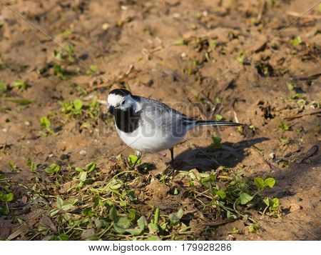 White wagtail Motacilla alba close-up portrait on ground with spring grass selective focus shallow DOF.