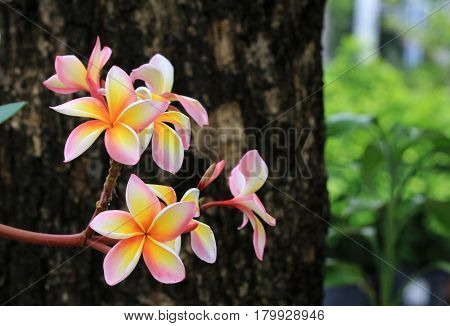 Yellow Pink Colors Frangipani Flower Close up