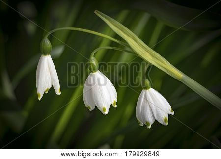 View of Snowdrop flowers on a green background.