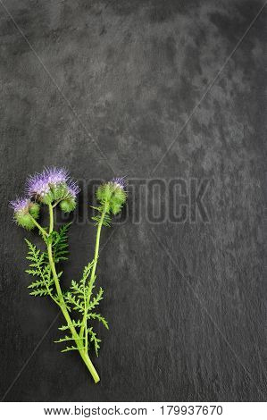 lacy phacelia blue tansy or purple tansy isolated over dark background
