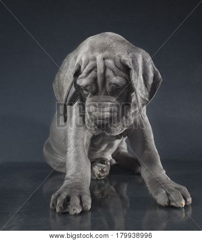 Purebred blue Great Dane puppy that looks like it is sad
