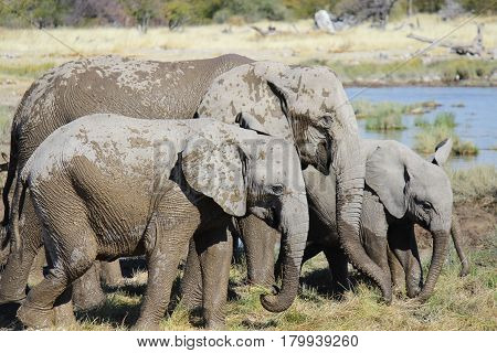 Family of Elephants playing in the mud - Etosha National Park - Namibia