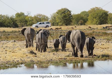 Family of Elephants walking in direction of a car in Etosha National Park - Namibia