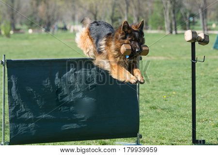 German Shepherd on agility competition over the bar jump. Proud dog jumping over obstacle. Selective focus on the dog