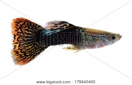 Guppy fish isolated in white background (Poecilia reticulata)