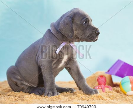 Patient Great Dane puppy purebred waiting with toys on the sand
