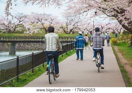 "People cycling in a park which has many beautiful cherry blossom or ""Sakura"" at Hakodate Hokkaido Japan"