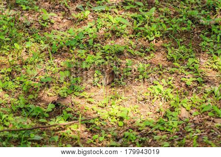 Tropical brown butterfly hiding in grass on ground