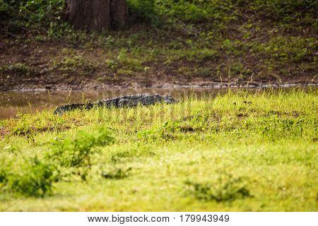 Large Mugger crocodile Crocodylus palustris relaxing in grass near river Sri Lanka.