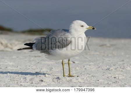 A Ring-Billed Gull, Larus delawarensis on a white sand beach in Florida