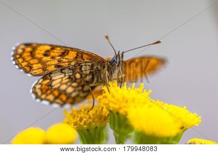 Underside Wings Of Heath Fritillary Butterfly