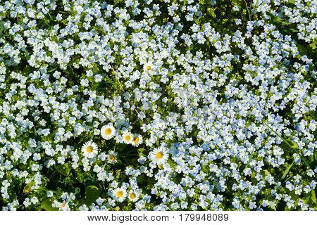 Background of many Forget-me-not and Daisies flowers