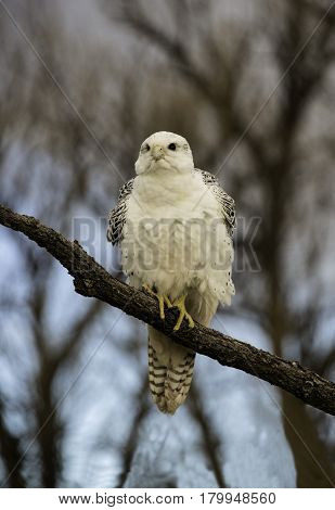 Gyrfalcon ruffling his feathers in the cool morning air