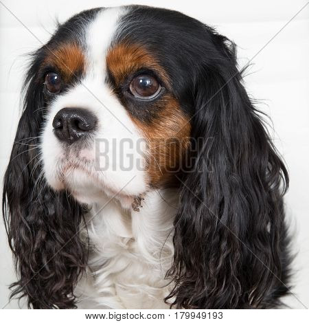 Beautiful Cavalier King Charles Spaniel Dog In A House