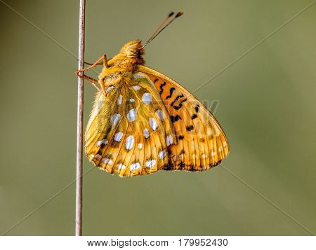 Dark Green Fritillary (argynnis Aglaja) Butterfly Resting On A Stick