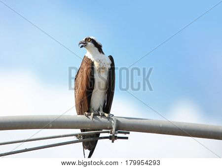 Close up shot of hawk on electrical pole