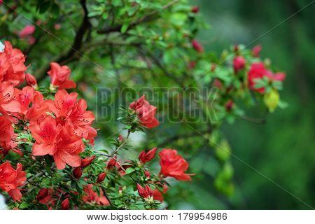 Beautiful blooming azalea on a blurred background