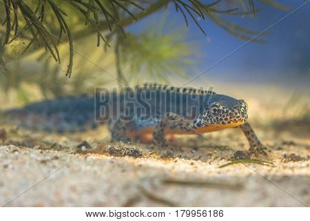 Submersed Alpine Newt In A Pool