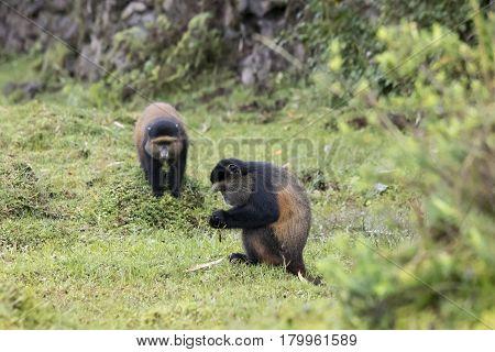 Endangered Golden Monkeys, Volcanoes National Park, Rwanda