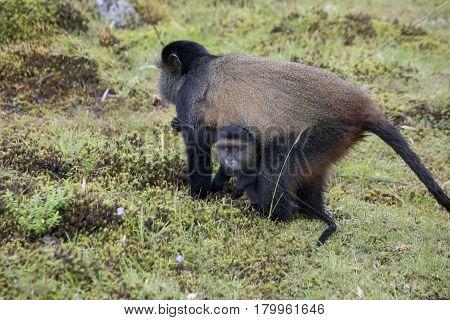 Endangered Golden Monkey, With Baby Volcanoes National Park, Rwanda