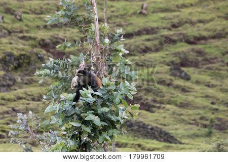 Endangered Golden Monkey, Sitting In Tree,  Volcanoes National Park, Rwanda
