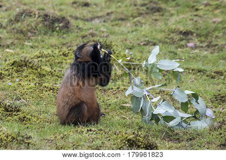 Endangered Golden Monkey Youth, Volcanoes National Park, Rwanda
