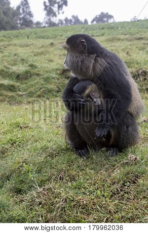 Endangered Golden Monkey With Baby, Volcanoes National Park, Rwanda Volcanoes National Park, Rwanda