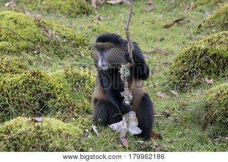 Endangered Golden Monkey Portrait, Volcanoes National Park, Rwanda