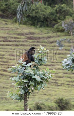 Endangered Golden Monkey On Top Of Tree, Volcanoes National Park, Rwanda