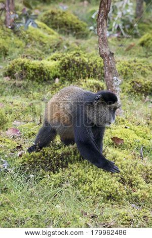 Endangered Golden Monkey Profile, Volcanoes National Park, Rwanda