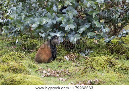 Endangered Golden Monkey In Field, Volcanoes National Park, Rwanda