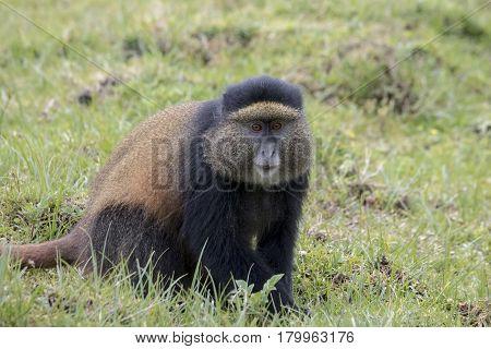 Endangered Golden Monkey Adult, Volcanoes National Park, Rwanda