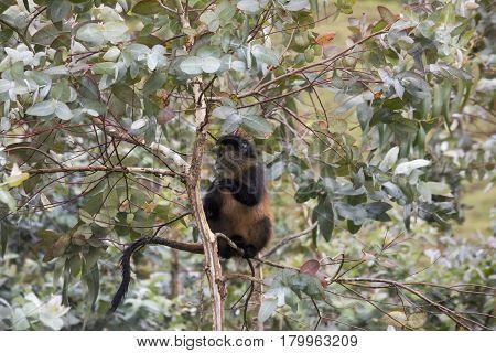 Endangered Golden Monkey In Eucalyptus Tree , Volcanoes National Park, Rwanda